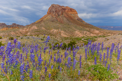 Texas Bluebonnets and a stormy sky provide a colorful frame for Cerro Castellan in Big Bend National Park