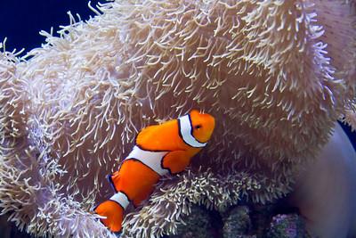 Clownfish at the Seattle Aquarium