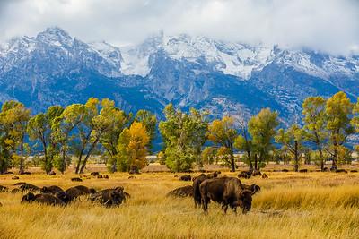 Bison gather near Mormon Row - Grand Teton National Park