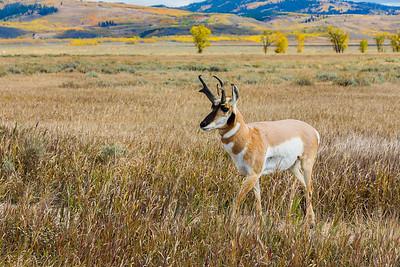 Pronghorn Antelope - Grand Teton National Park