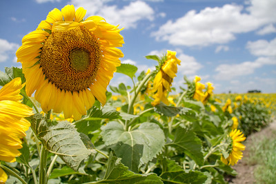 DSR_20130611sunflowers302