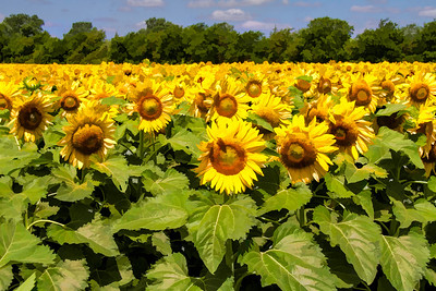 DSR_20130611sunflowers108-Edit