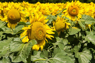 DSR_20130611sunflowers92