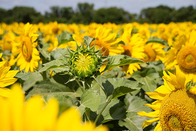 DSR_20130611sunflowers1 53