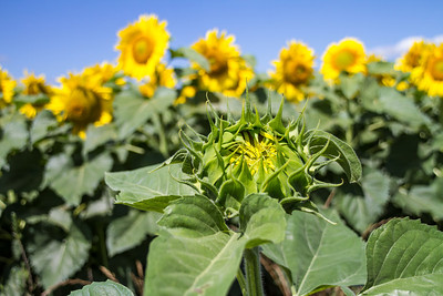 DSR_20130611sunflowers99