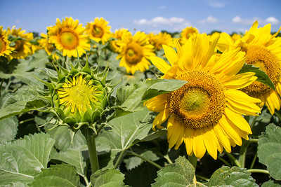 DSR_20130611sunflowers105