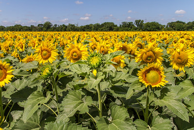 DSR_20130611sunflowers107