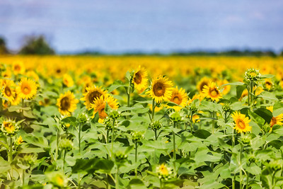 Field of Sunflowers in Argyle
