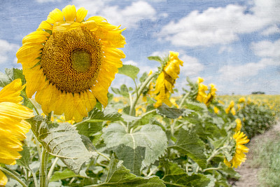 DSR_20130611sunflowers302-Edit