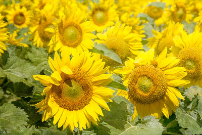 DSR_20130611sunflowers109-Edit