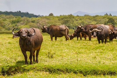 #1 in our quest for the Big Five, the Cape Buffalo, seen first at Arusha National Park