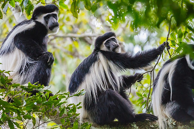 Black  & White Colobus frequent the trees at Arusha National Park