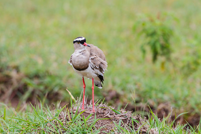 A Crowned Plover gives us the Stink Eye