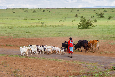 Maasai are frequently seen herding cattle, goats and donkeys.