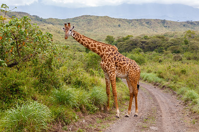 Masai Giraffe, browsing at Arusha National Park