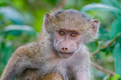 Olive Baboon. What a cutie!