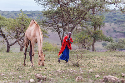 This Maasai gentleman has found a niche in raising camels.