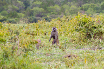 A curious Olive Baboon greets our arrival at Arusha National Park.
