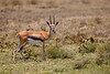 Thomson's Gazelles are found throughout Serengeti National Park