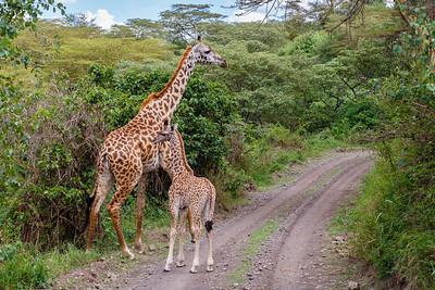 Mother and baby Masai Giraffe at Arusha National Park
