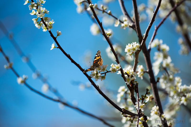 Butterfly on a Flowering Plum Tree