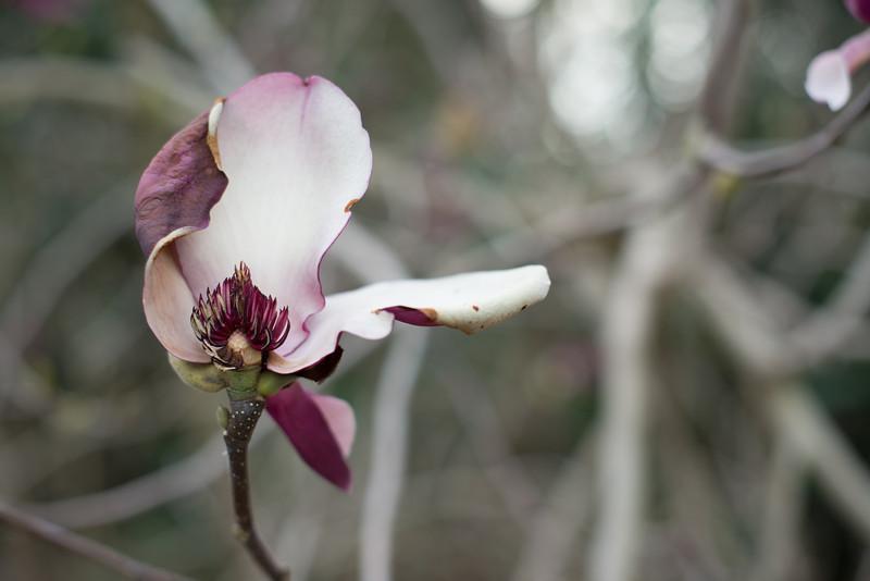 Black Tulip Magnolia