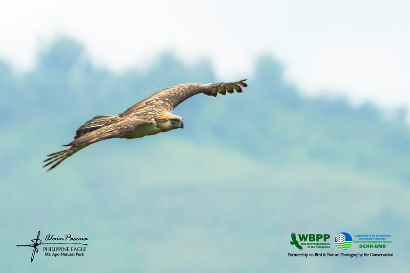 """Ang Banog: Haring Ibon"" – The Great Philippine Eagle in Flight"