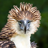 """Ang Banog: Haring Ibon"" – The Great Philippine Eagle in Portraiture"