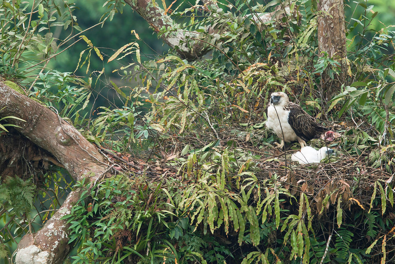 A NEW HOPE for Haring Ibon. Just 25 days old, the baby chick takes a rest after feeding while its mother stands on guard, a breath of life and a promise of tomorrow to the critically-endangered Philippine Eagle photographed at the old growth forest of Mt. Apo Natural Park by Wild Bird Photographers of the Philippines under their partnership agreement with the department of the environment to show to the Filipino people and the world the avian treasures they must conserve for the future generation.   ALAIN PASCUA/WBPP