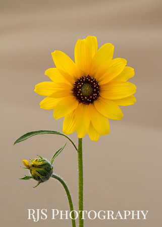 Sunflower at the Dunes