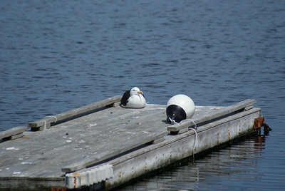 Too fat to fly: A well fed seagull takes a breather