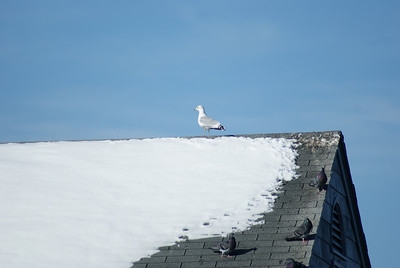 Sentinel gull