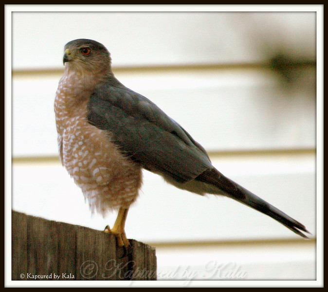 Cooper's Hawk, Right After Muting