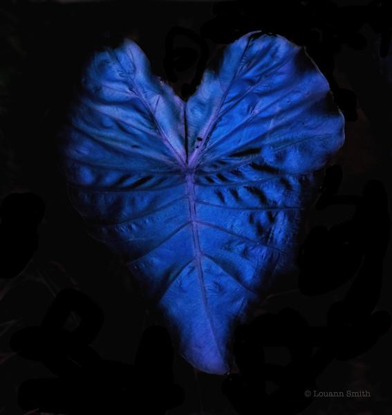 Colocasia 'Nocturna'