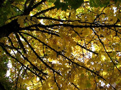 Looking up into one of our Norway Maple trees. October 20, 2006