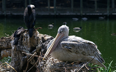 A pelican...there are babies underneath her!