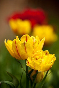 Some of the tulips that I put into the ground very late decided they could come up anyway.