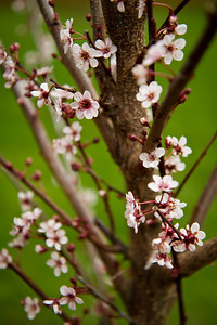 Our new Newport Flowering Plum.