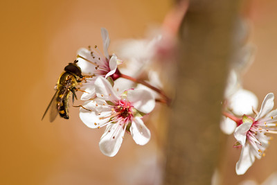 A little bee, checking out the new plum tree in the backyard.