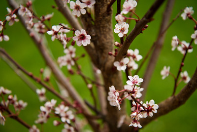 Yesterday (4-9-11), we planted a Newport Flowering Plum tree in the back yard as well as an Autumn Blaze Maple.  I'm excited to have a flowering tree to photograph in the spring and a fiery red one in the fall.