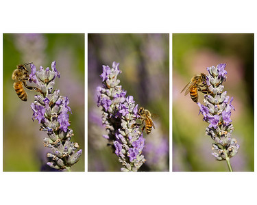 July 12, 2012 Busy Bees on the lavender.