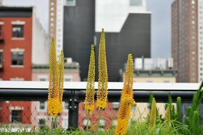 High Line Foxtail Lilies