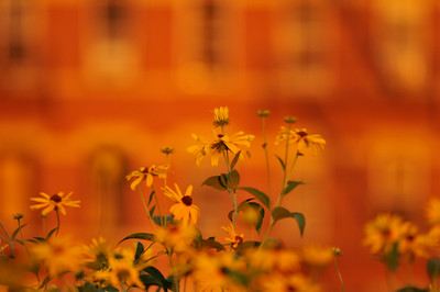 Black-eyed susans catch the last of the light after Honey Day at the High Line.