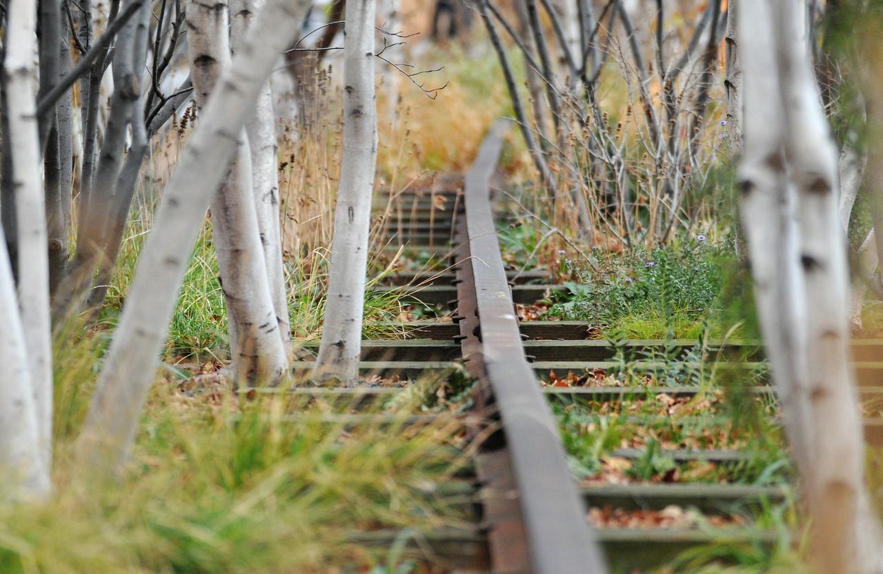 Rail Through Birches