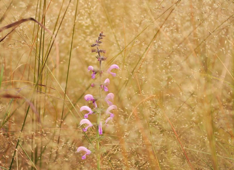 Pink Sage Hiding