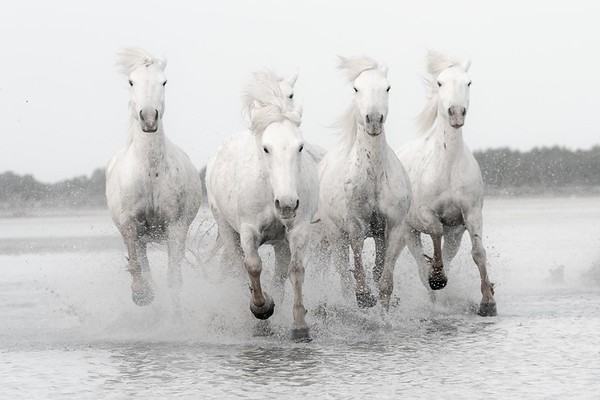 The Horses of Camargue France