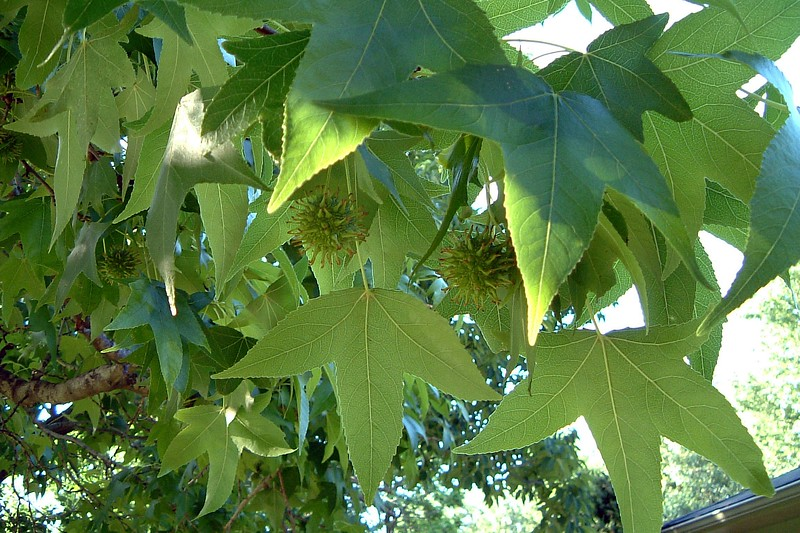 The photo above is of the large tree on the driveway side of the front yard.  It looks suspiciously like the large tree in the backyard.  I'll have to send Mom & Dad an email to see if they know what this is.