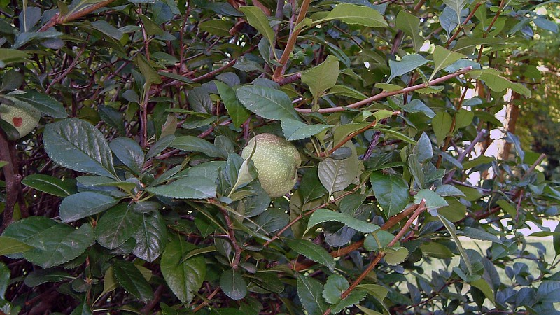 The center bush has some kind of fruit.  I have no idea what it is.