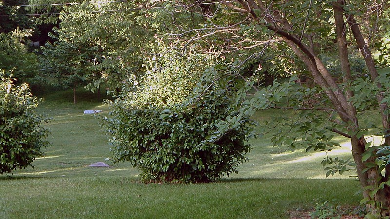 As with everything else, I have no idea what these bushes are as well.