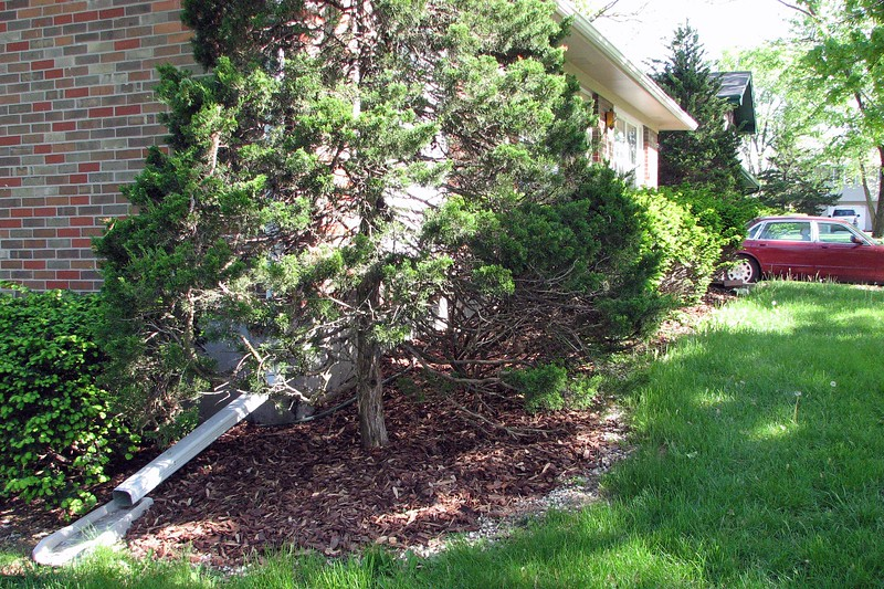 I try and keep the lower branches around the evergreen cut so it's easier to cut the grass there.